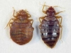 big_bed_bug_adults